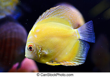 Discus fish, yellow Symphysodon Discus in aquarium.