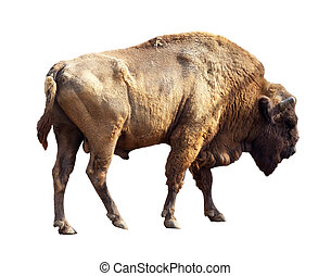 European bison over white - European bison Bison bonasus...