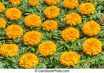 Marigold flowers ready to plant