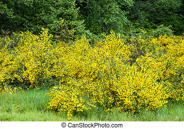Cytisus Scorparius or Scotch broom an invasive species