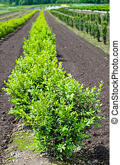Row of boxwood plants in the nursery - A row of boxwood...