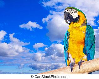 Macaw  against sky - Macaw (Ara chloropterus) against sky
