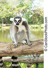 Ring-tailed lemur sitting on the tree