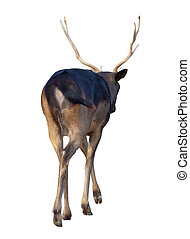 Rear view of fallow deer buck Dama dama Isoalted over white...