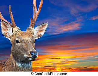 Sika deer against sunset sky - Head of Sika deer (Cervus...