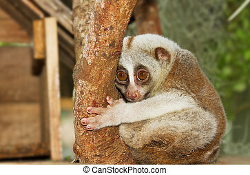 slow loris monkey climb on the tree