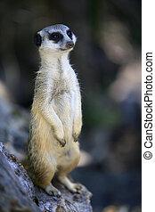 Suricate - Meerkat or suricate (Suricata, suricatta) is a...
