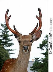 Stag Deer, Japan