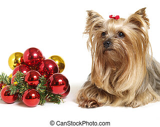 Yorkshire dog with christmas balls on white