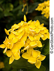 Yellow flower close-up West Indian Jasminescientific name...