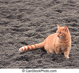 Brindled colored tabby cat in sand - an alert brindled Tabby...