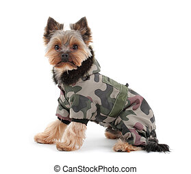 Portrait of a yorkshire terrier with green camo jacket and...
