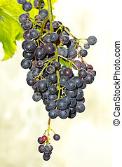 Bunches of ripe grapes among green leaves