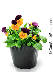 viola - I took the viola which was in the pot in a white...
