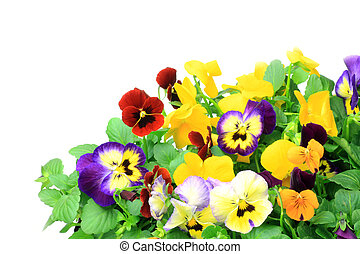 pansy and viola - I took many pansies and violas in a white...