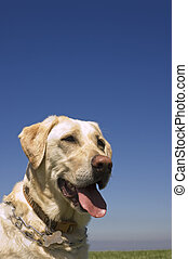 A female White Labrador dog against blue sky
