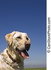 A female White Labrador dog against blue sky