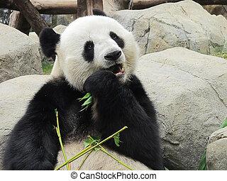 Panda bear - Giant panda bear eating bamboo leafs