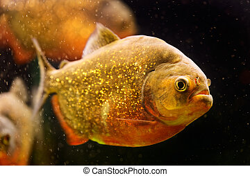 submarino, piraña, nattereri), (serrasalmus, rojo, natación...