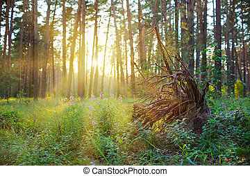 Grubbed up the stump in pine forest on sunrise with warm sunbeams