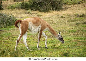 Guanaco in Chile - A guanaco in the pampas of Patagonia, in...