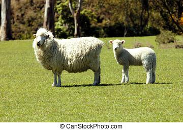 oveja, cordero