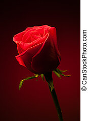 red rose on red background