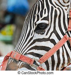 close up zebra eye in the zoo