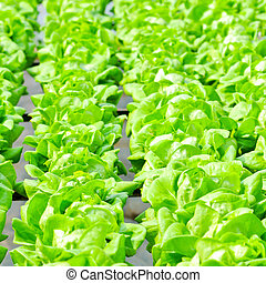 Hydroponics Vegetable ,the nutrition in the future.