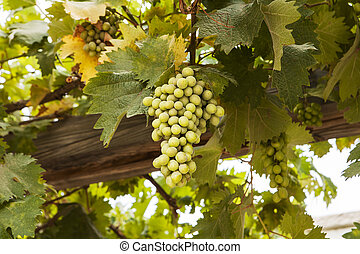 Grapes In Galilee - A cluster of green grapes hang from...