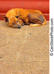 Mange - A stray dog with mange in a Thai temple