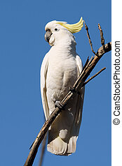 Yellow-crested Cockatoo on branch, Australia