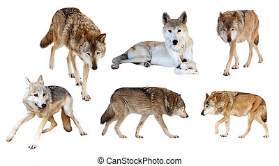 wolves on white background - Set of six wolves Isolated on...
