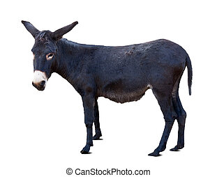 Black donkey or ass over white - Black donkey or ass (Equus...