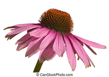Coneflower - Close up of a coneflower, isolated on white...