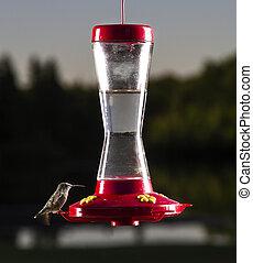 Small humming bird - female ruby hummingbird at bird feeder