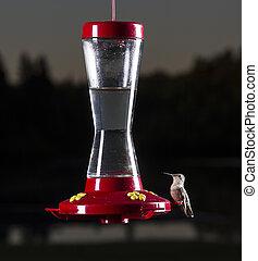 Going for a sip - female ruby hummingbird at bird feeder
