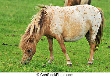 pregnant American mini horse in the grass