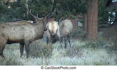 Bull Elk Fighting - bull elk fighting for dominance in the...