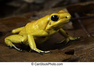 poison dart frog Phyllobates terribilis poisonous animal of...