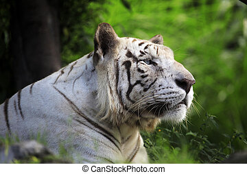 White tiger - The white tiger yawns. Safari - park. Bali....