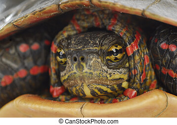 turtle hiding - western painted turtle inside its shell on...