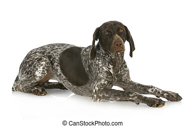 german short haired pointer laying down isolated on white...
