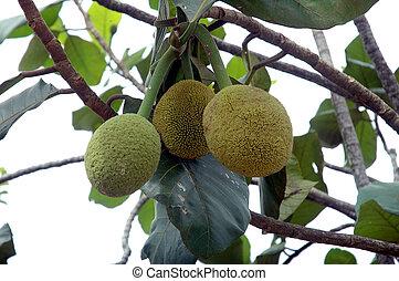 Terap Artocarpus odoratissimus, the tropical fruit at Borneo...