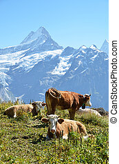 Cows on the Alpine meadow Jungfrau region, Switzerland