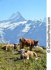 Cows on the Alpine meadow. Jungfrau region, Switzerland