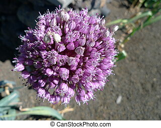 onion flower and bee - bee on onion flower