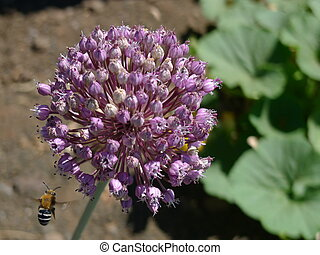 bee on onion flower