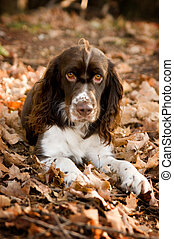 springer spaniel pup out doors in fall