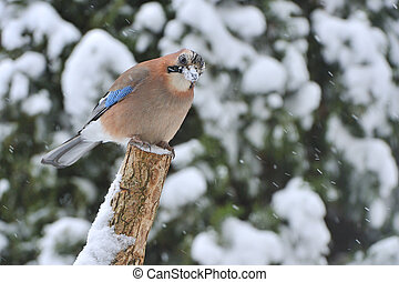 Eurasian jay Garrulus glandarius on a rotten, in the snow